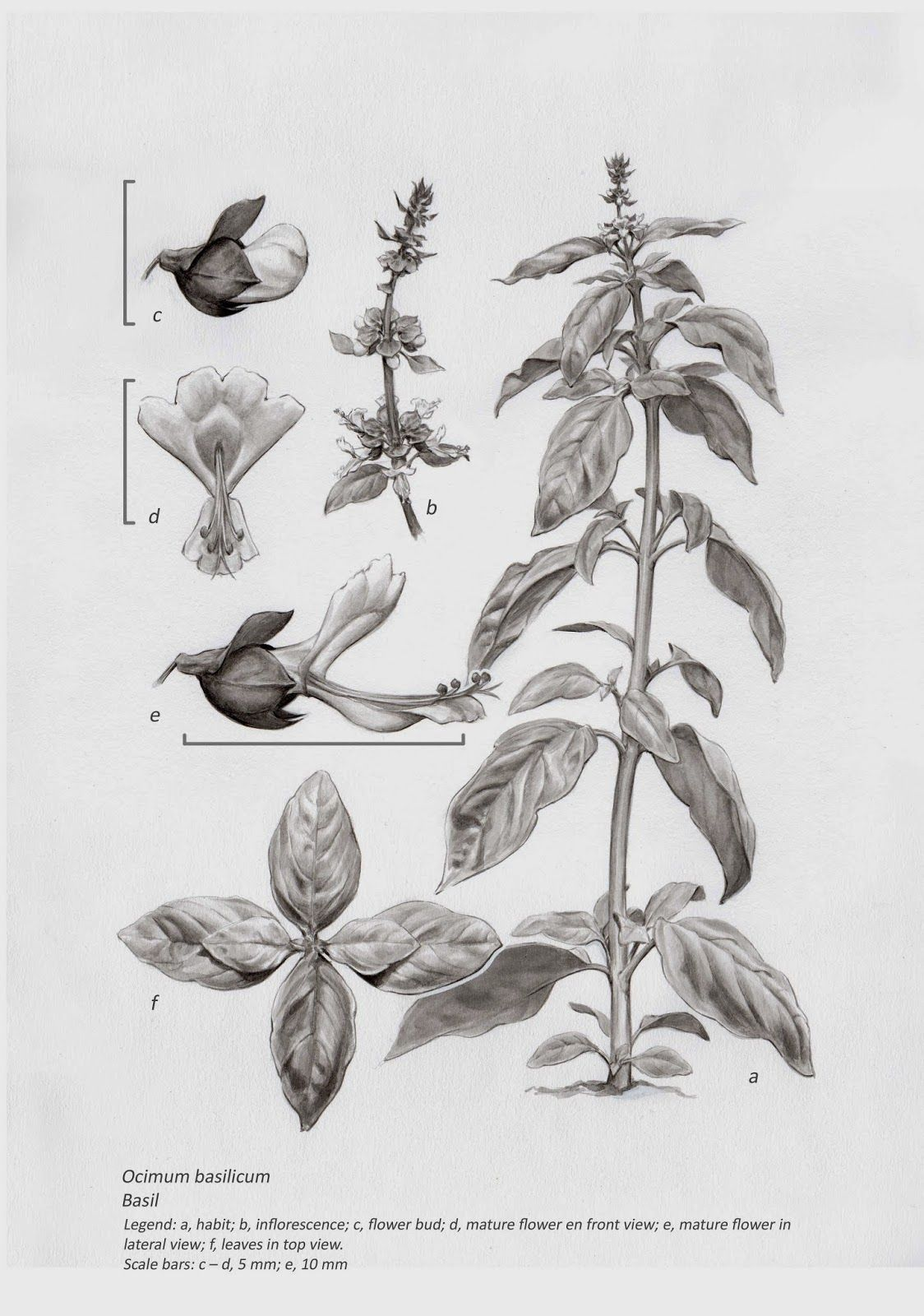 Il Lustraciencia Italo Ahumada Morasky Ocimum Basilicum Disegni Botanici Botanica Disegni