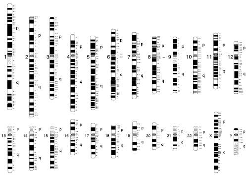 Figure 10. Schematic of a normal human (male) karyotype