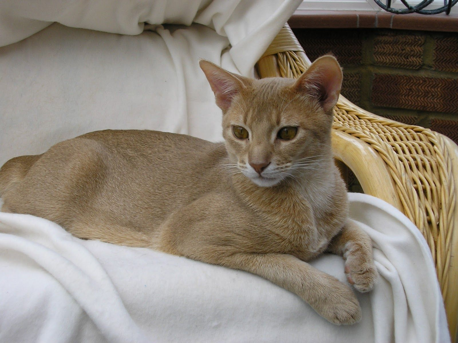 Abyssinian Cat fawn - Google Search | Abby road | Pinterest ...