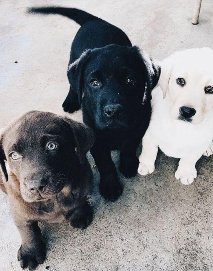 Alle Farben Von Labardoren Schokobraun Schwarz Und Weiss Babyhunde Susse Tiere Haustiere