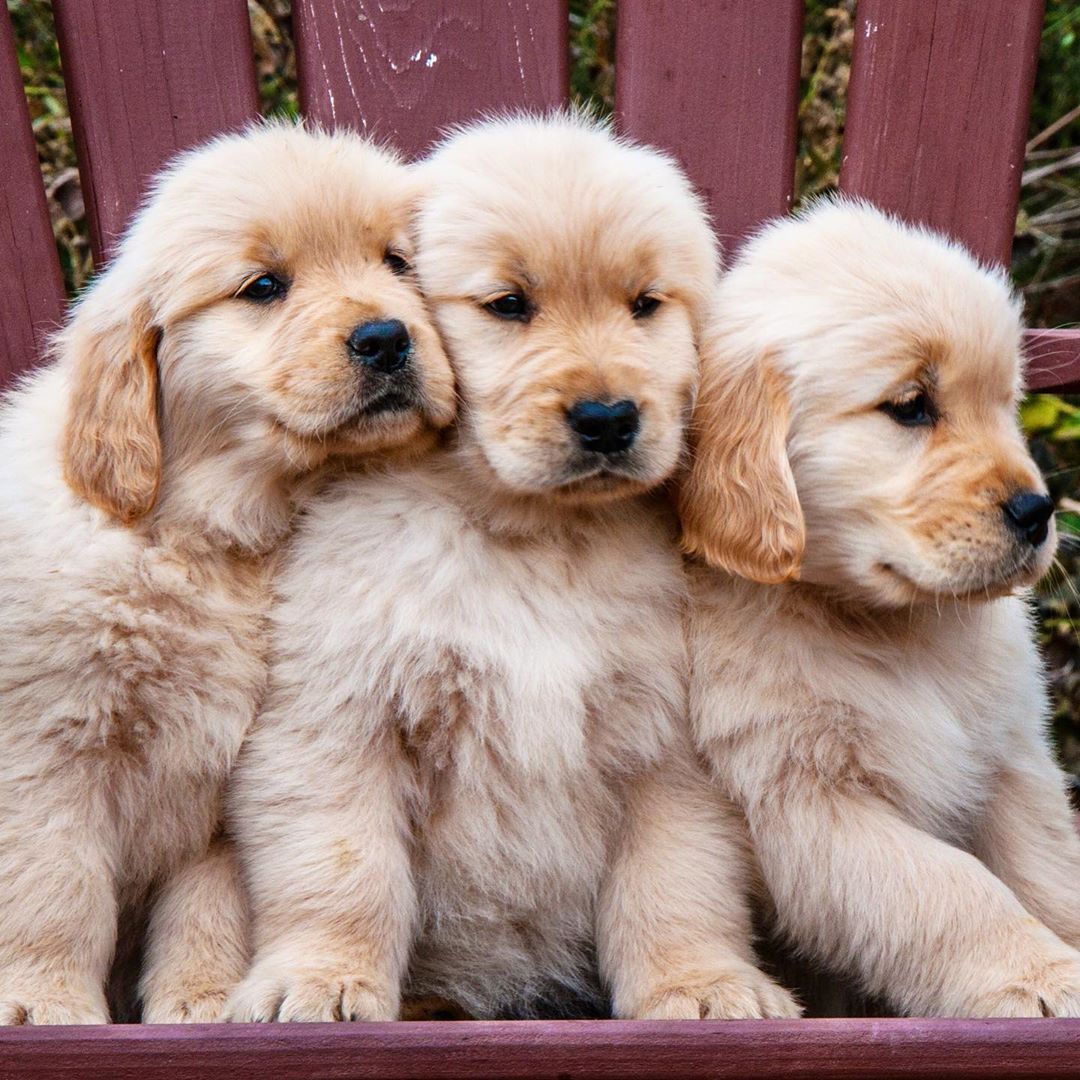 White English Cream Creme Golden Retriever British Goldens Puppy