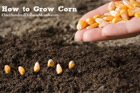 How To Grow Corn Start To Finish Growing Sweet Corn Growing