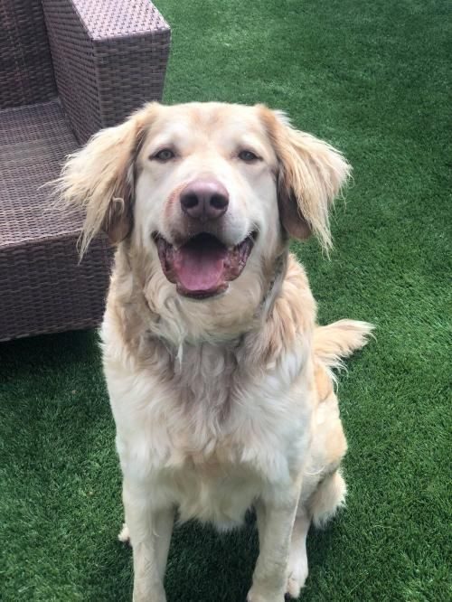 Adopt A Dog Golden Retriever Chesapeake Bay Retriever Mixed
