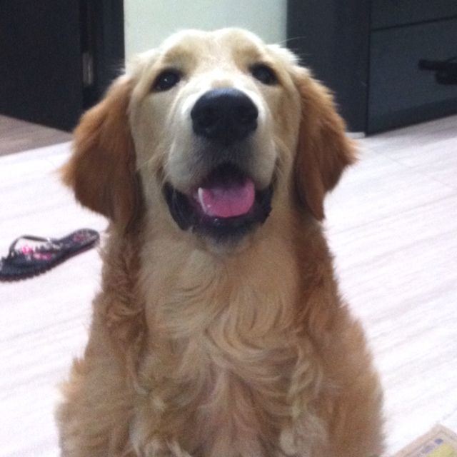 My 7 Months Old Golden Retriever Excited To See Us After A