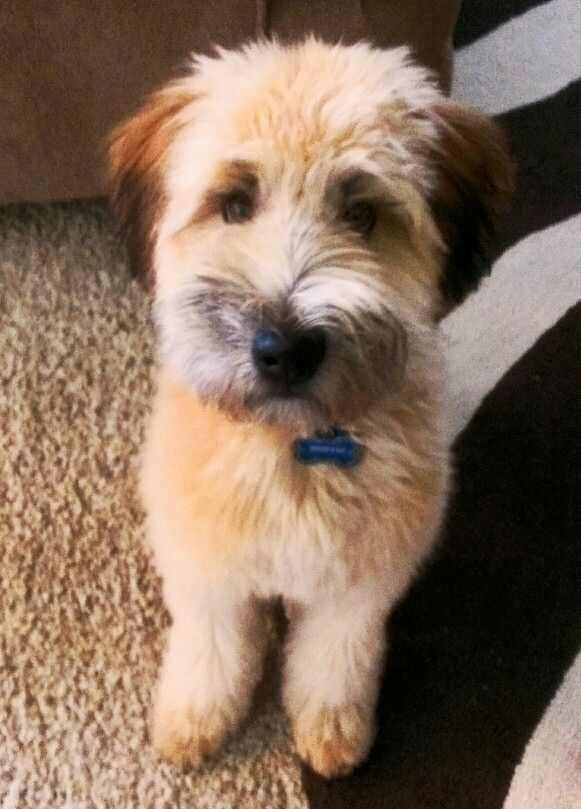 Soft Coated Wheaten Terrier 5 Months