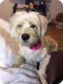 Houston Tx Cairn Terrier Jack Russell Terrier Mix Meet Syble