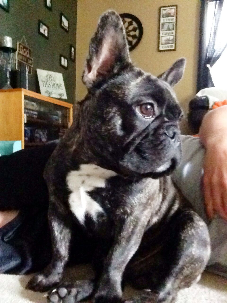 Bronx The French Bulldog Frenchie Frenchbulldog Brindle