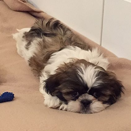 Shih Tzu Puppy Pet Dog Puppies For Sale In Ny Want Ad Digest
