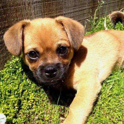Adorable Pug Cross Breeds Puppies Pug Mixed Breeds Pug Mix