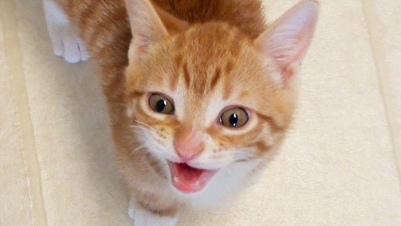 cutest kitten meows cat videos pinterest kittens meowing cat
