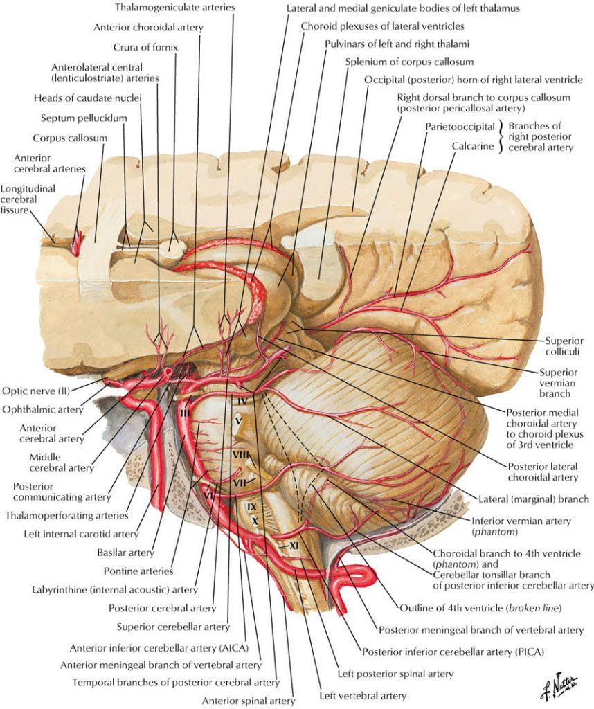 Cerebral Circulation Blood Supplement Diagram Anatomynote