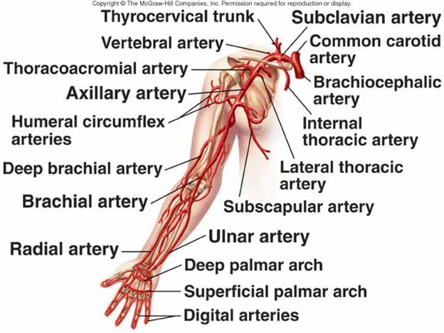left arm arteries images and labels blood flow is
