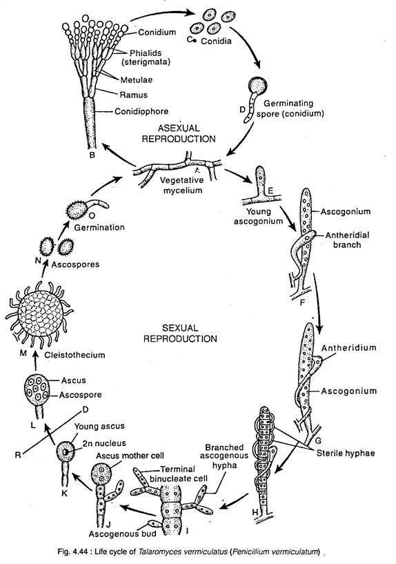 life cycle of talaromyces vermiculatus  penicillium