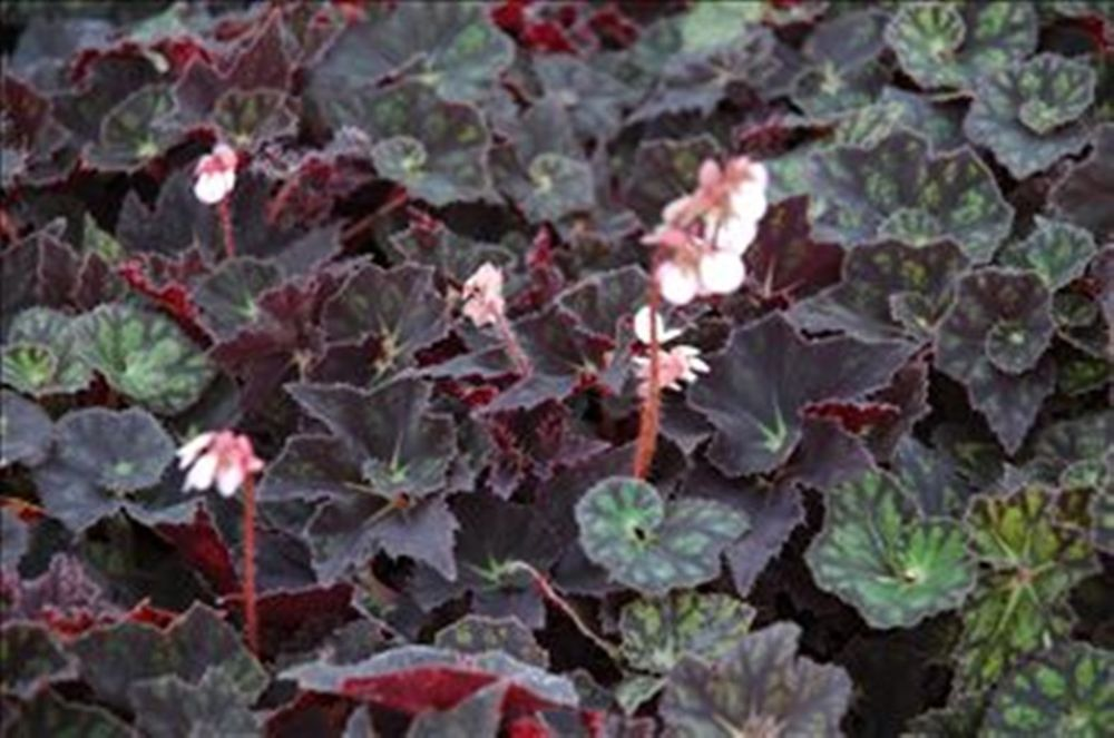 Begonia Black Fancy Beautifully Scalloped Leaves Begonia Rhizome Fancy