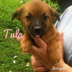 I Found Tula On With Images Chihuahua Dogs Chihuahua Dogs