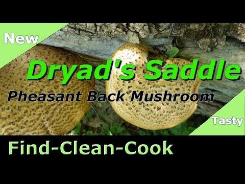 Find Clean Cook (Dryad's Saddle 2018) Pheasant Back ...