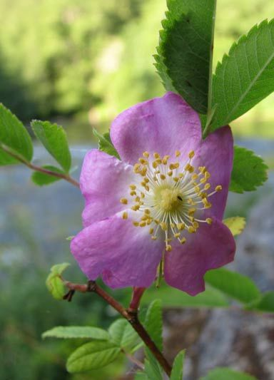 Wild Rose (various wild species) – Leaves from Wild Rose plants are astringent and toning. They can be added to facial steamsor infusionsas a gentle astringent for normal, oily, or combination skin. The fresh leaves can be applied as a poultice for bee stings and insect bites.