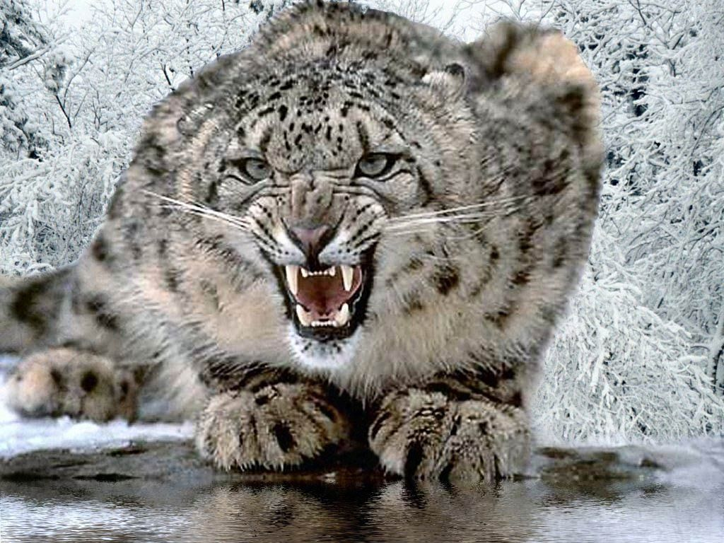 Free Snow Leopard Wallpaper Wallpapers Download