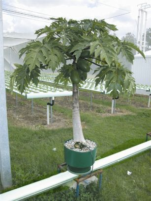 """Two Australian growers have proved that papayas in hydroponics, like this one, can be grown to production of fruit in little more than half the time of soil-grown """"Trees."""" The hydroponically-grown fruit is claimed to be tastier. The tropical papaya is predicted to become a favoured fruit to be produced from rooftops under hail netting in Singapore, and could form a most attractive bank of foliage for rooftop restaurants that also picks and serve the ripe fruit chilled, juiced or in fruit…"""