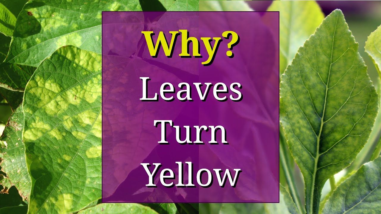 8 Reasons why Plant Leaves Turn Yellow