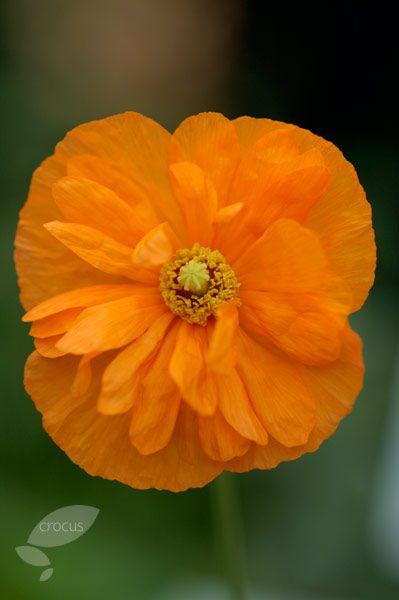 Buy poppy papaver rupifragum tangerine parfait delivery by crocus buy poppy papaver rupifragum tangerine parfait delivery by mightylinksfo