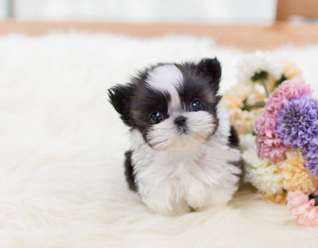 Available Shihtzu Solace Puppies In 2020 Shih Tzu Shih Tzu Puppy Biewer Yorkie