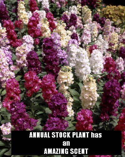 Stock flowers in bloom