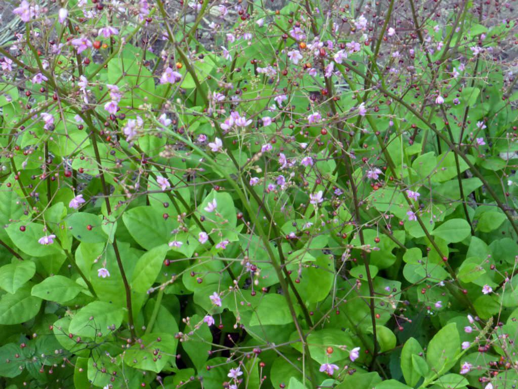 Kletterbogen Für Rosen : Talinum paniculatum jewels of opar huerta y jardín pinterest