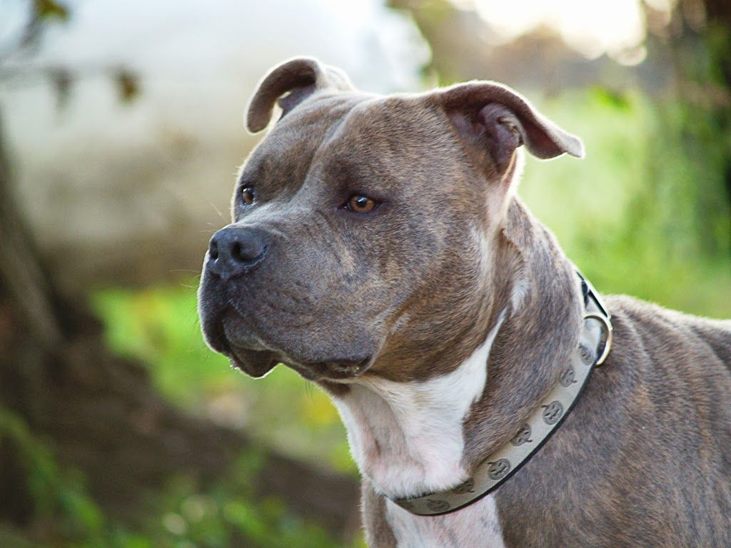 5 Popular Different Types Of Pitbulls Breeds With Pictures Dog