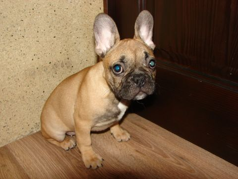 French Bulldog puppy for sale in TRYON, NC. ADN71531 on