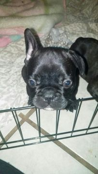French Bulldog Puppy For Sale In Phoenix Az Adn 20112 On
