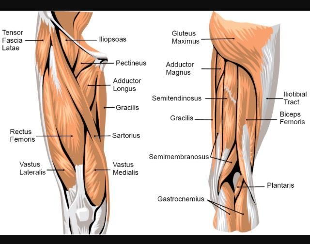 Quadriceps Diagram Leg Muscles Anatomy Leg Anatomy Leg Muscles Diagram