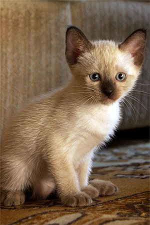 Brown And White Siamese Cats Click Here To Stop Your Cats From