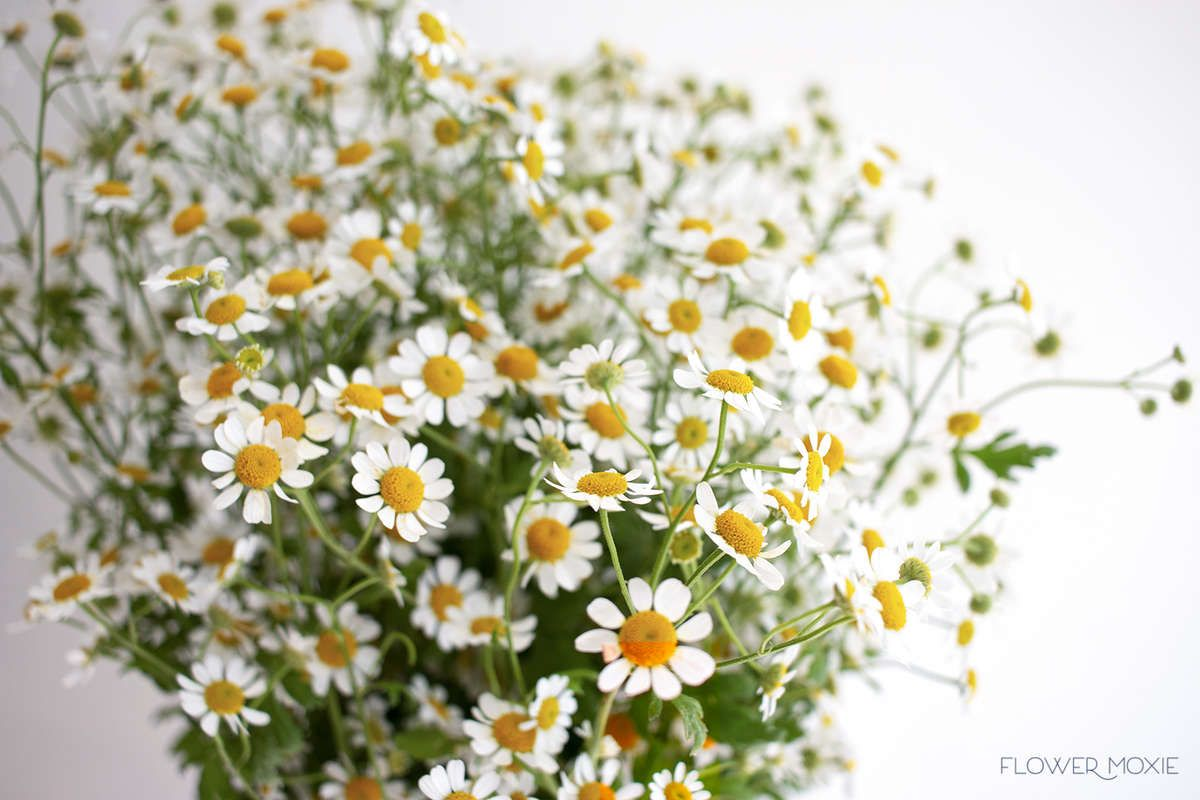 The Perfect Addition To Designs With A Wildflower Vibe Chamomile Looks Like Tiny Daisies Which Provide Am Flower Dictionary Chamomile Flowers Planting Flowers