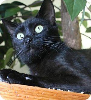 Blackwood Nj Domestic Shorthair Meet Smalls A Cat For Adoption Cat Adoption Kitten Adoption Pet Adoption