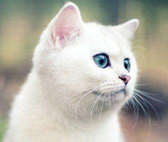 ผลการค้นหารูปภาพสำหรับ white haired blue eyed cats