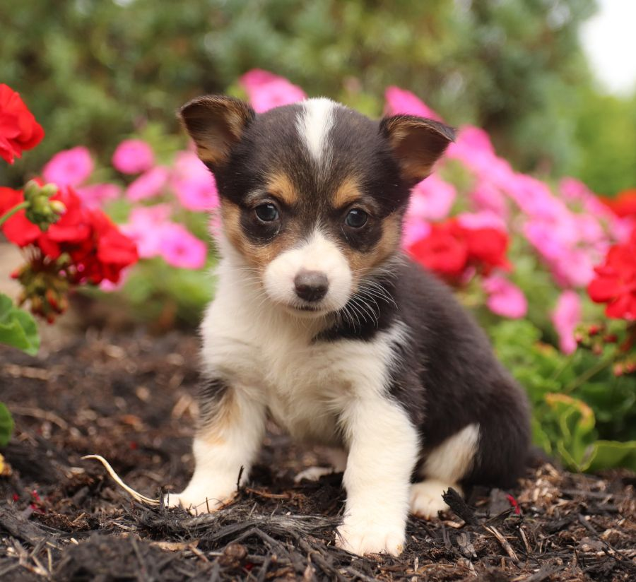 Beautiful Welshcorgi Welsh Corgi Puppies