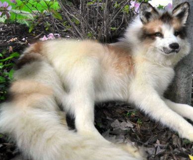 Marble Fox Cute Fox Wild Dogs Lovely Creatures