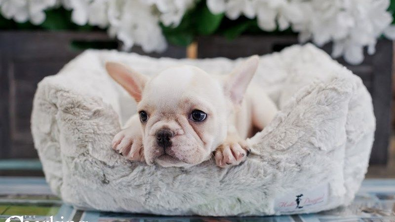 Grand Rapids French Bulldog Puppies For Sale Cute Bulldog Puppies Bulldog Puppies Bulldog Puppies For Sale