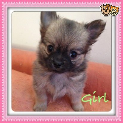 Longhaired Chihuahua X Pomeranian Pups For Sale Basildon Essex