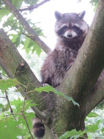 Raccoon  ..Artis zoo @made by my daughter tanja beentjes