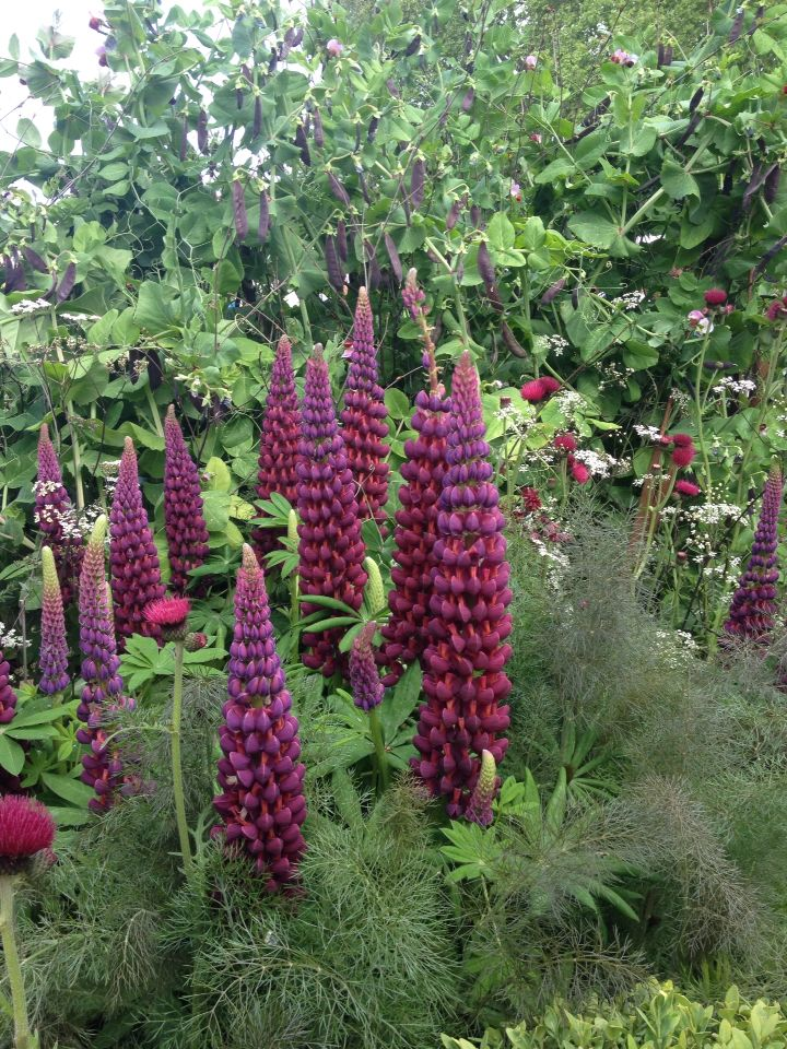 Hybrid Lupine 'Masterpiece' (Lupinus hybridus)  Chelsea flower show 2015