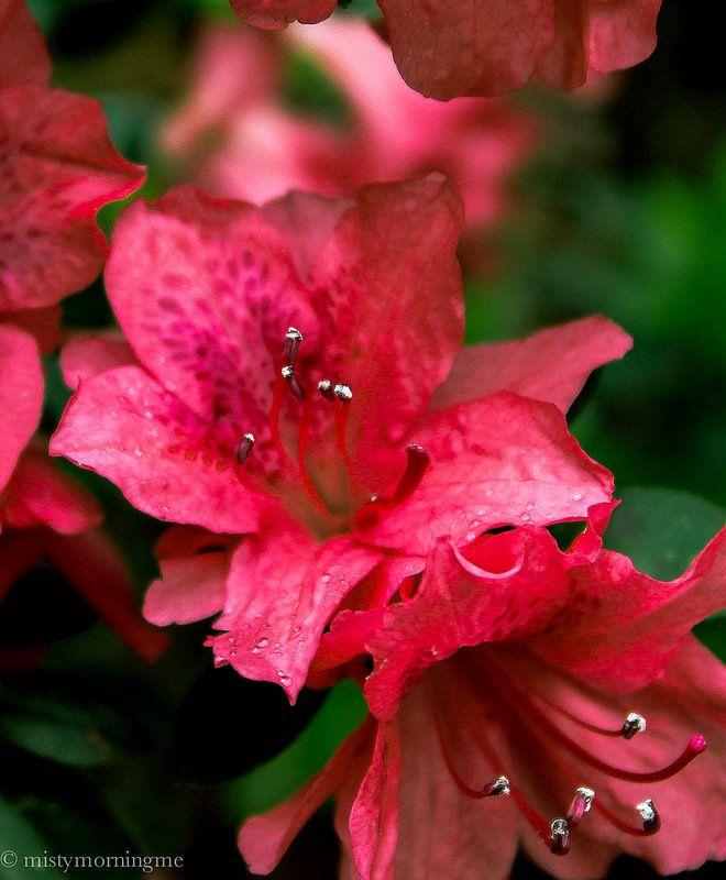Pink Azaleas  Flickr