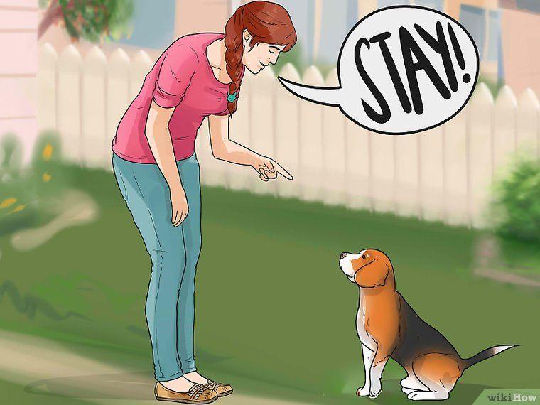 Train A Dog For Rabbit Hunting Rabbit Hunting Beagle Beagle Dog