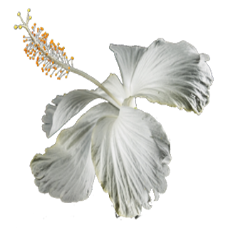 High Resolution Graphic Image Of A White Hibiscus On A Transparent Background Free To Use Graphicdesign Fl Transparent Background Background White Hibiscus