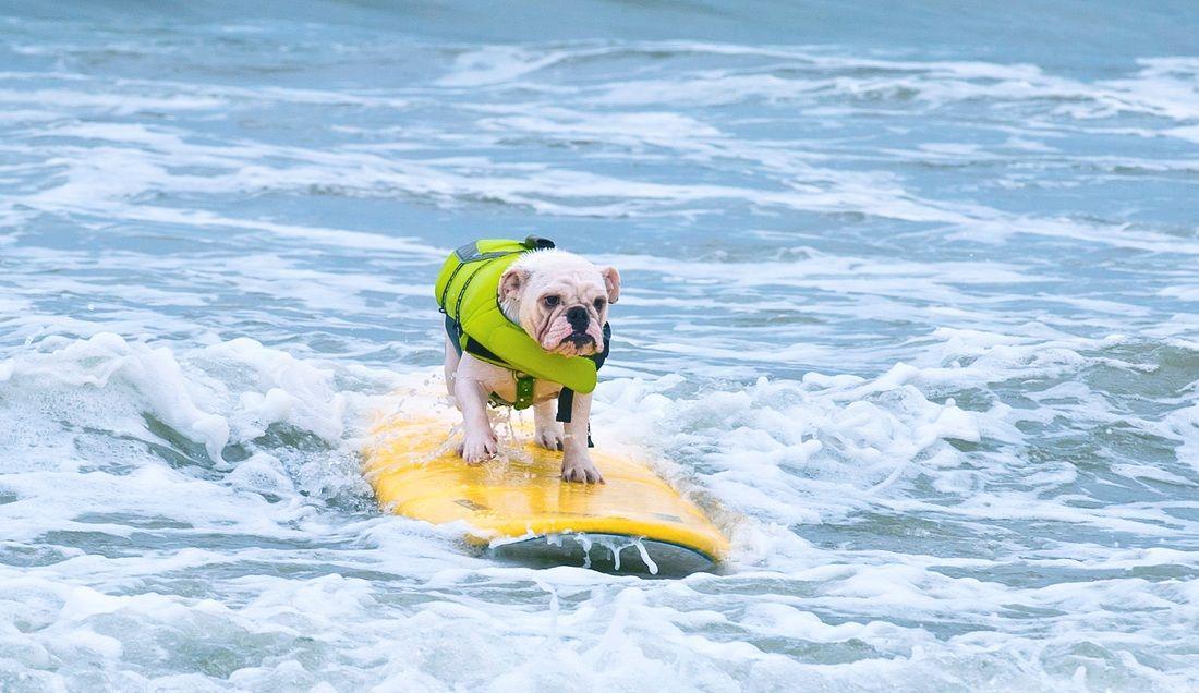 Newman So Cal Surf Dogs With Images Bulldog Rose Parade English Bulldog