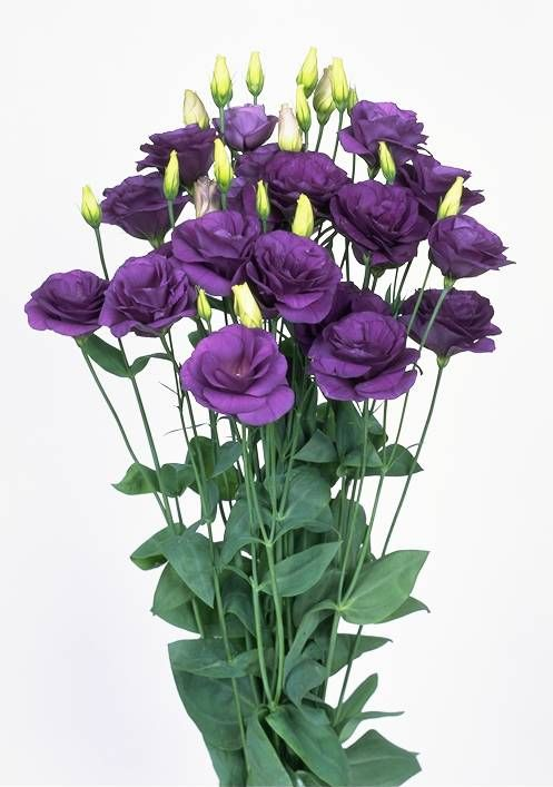 lisianthus eustoma grandiflorum beautiful flowers 2 blumen s garten. Black Bedroom Furniture Sets. Home Design Ideas