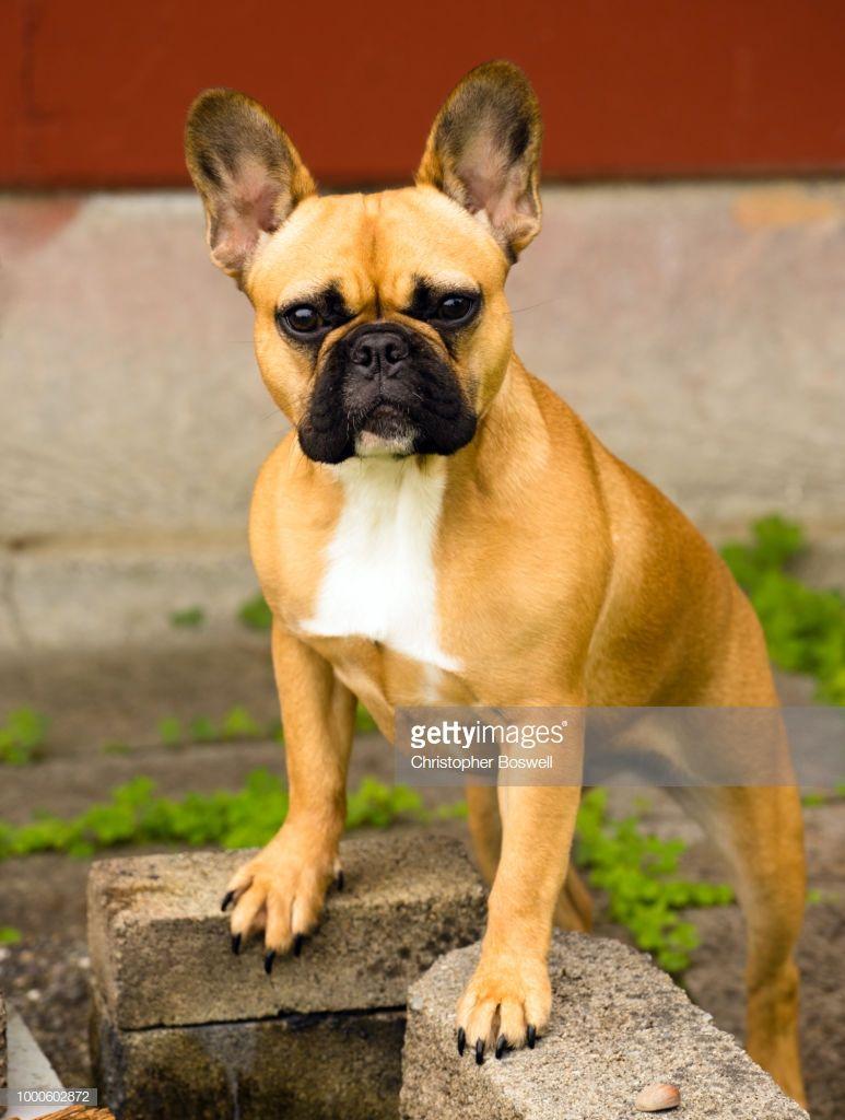 French Bulldog Pure Breed Canine Dog
