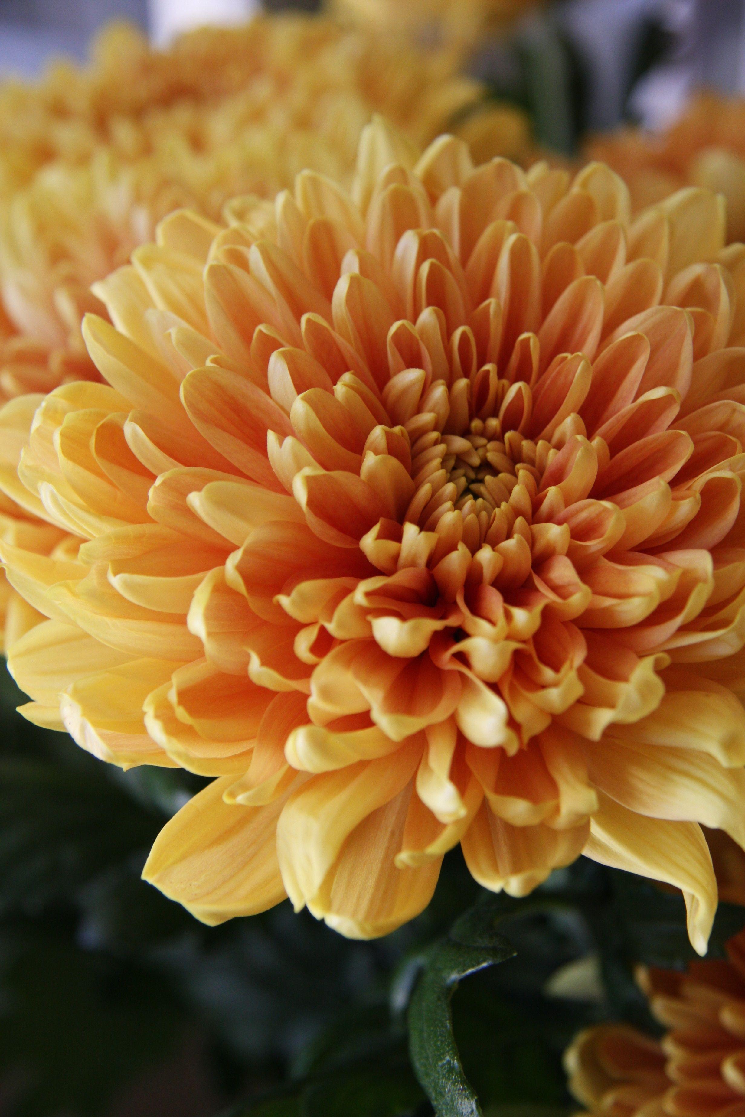 Chrysanthemum lozano orange chrysanthemum pinterest