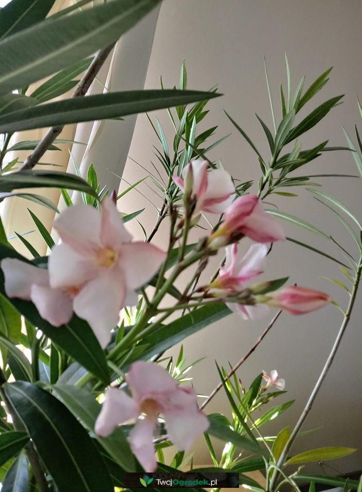 Piekny Oleander Plants Garden
